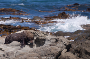 A Fur Seal on a beach near Kaikura