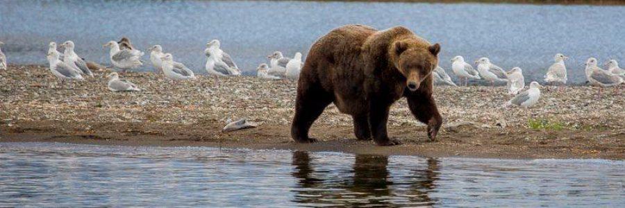 A grizzly bear - brown bear walks near a lake in Katmai National Park.