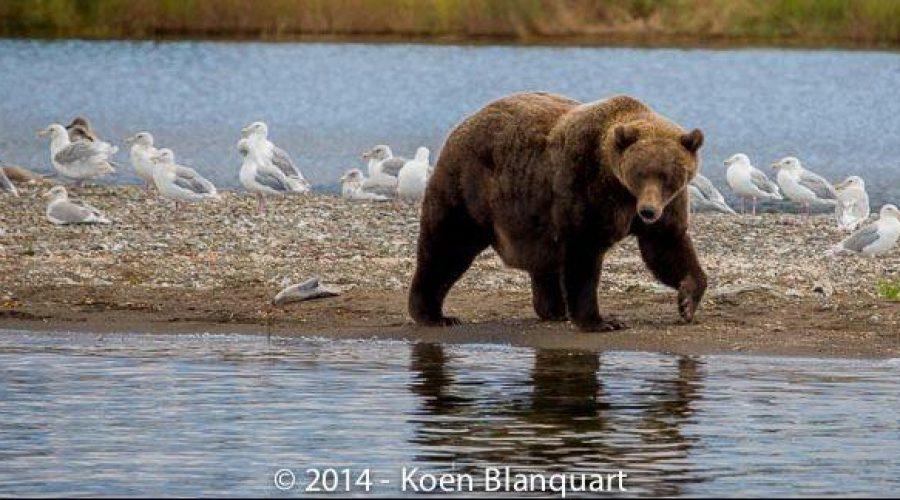 Grizzly bears – Brown bears, Alaska