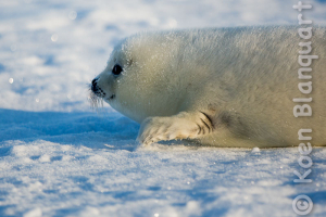 Visiting the Harp Seal Pups