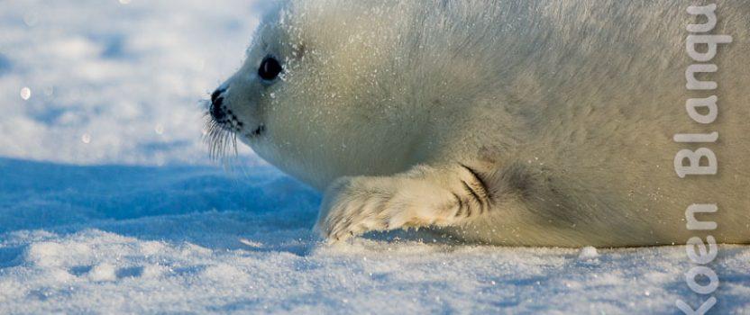 Visiting the Harp Seal Pups