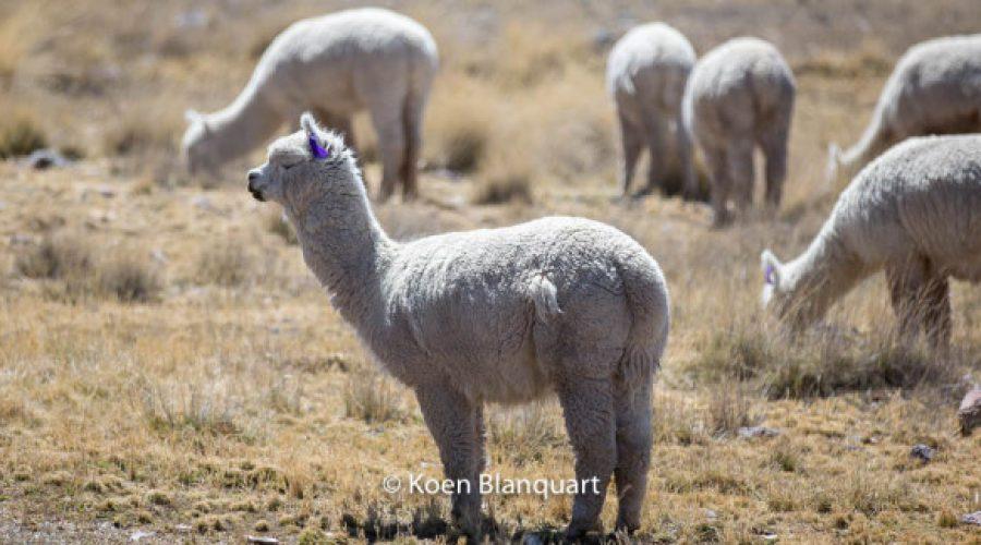 Camelids in Peru: Vicuna, Llama, Alpaca