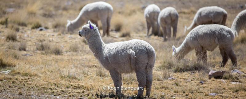 Peru-Alpaca-by-Koen-Blanquart-HQ3A7766-800x324