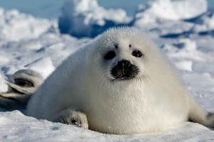 Video: seeking the harp seal pups in Canada