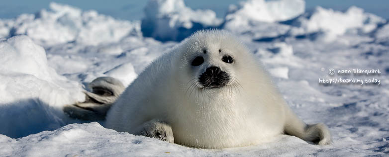 Video: seeking the harp seal pups in Canada