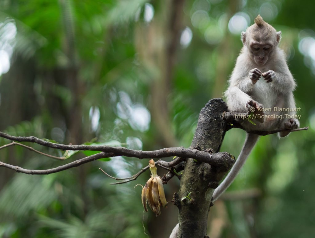 Monjeys in the sacred Monkey Forest Sanctuary in Ubud, Bali, Indonesia - by Koen Blanquart