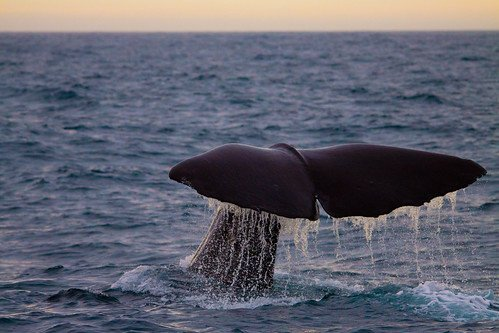 The tail of a diving sperm whale near Kaikoura, New Zealand