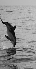 A dolphin jumps out of the water near Kaikoura, New Zealand